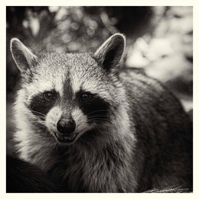 Wasbeer